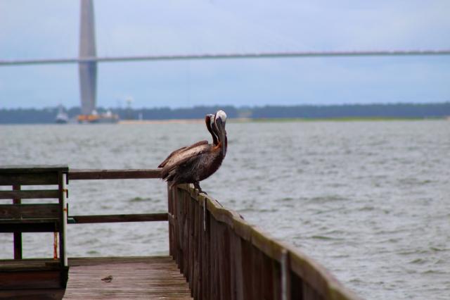 Pelicans Dock